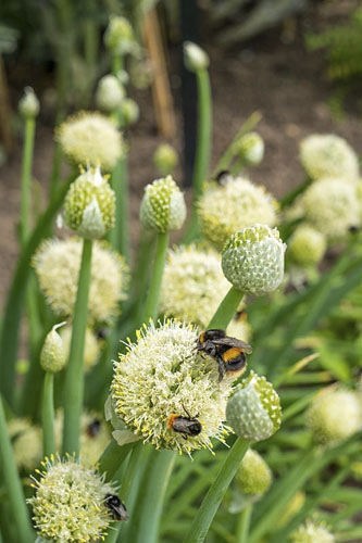 Bumble bees on Allium fistulosum - Welsh onion or bunching onions - © GAP Photos/Gary Smith
