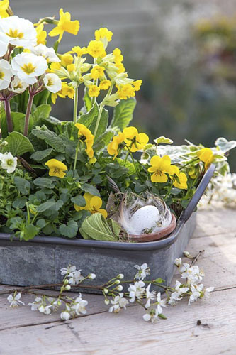 Galvanised tray with Primula, Viola and Saxifraga