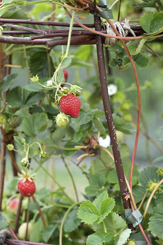 Fragaria x ananassa 'Mount Everest' - fruiting strawberry plants growing up  woven willow supports