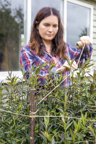 Woman tying in Aster using hazel sticks and garden string