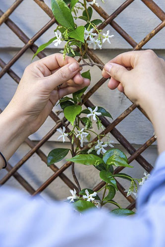 Woman carefully tying Trachelospermum jasminoides to trellis with garden twine.