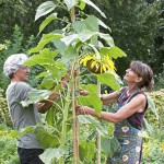 Paul Samuels and Ine Marcelissen tie up a sunflower, Netherlands