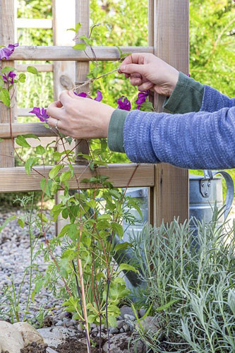 Close up of woman gently tying in Clematis stems to trellis arch.