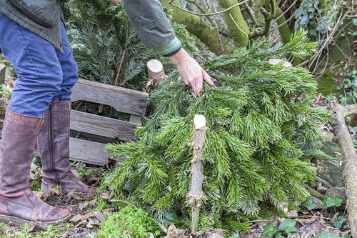 Woman arranging recycled christmas tree branches within bark stakes to create a wildlife shelter - © GAP Photos