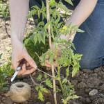 Woman tying a tomato plant to wooden stake with help string.