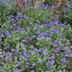 Myosotis scorpioides 'Royal Blue' - Forget-Me-Nots planted under tree