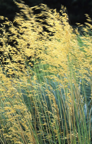 Stipa gigantea blowing in the wind