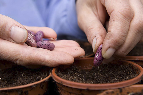 Planting runner bean seeds - © GAP Photos/FhF Greenmedia
