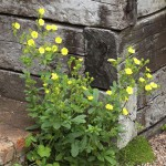 Potentilla recta self seeded at the base of a raised bed at Glebe Cottage