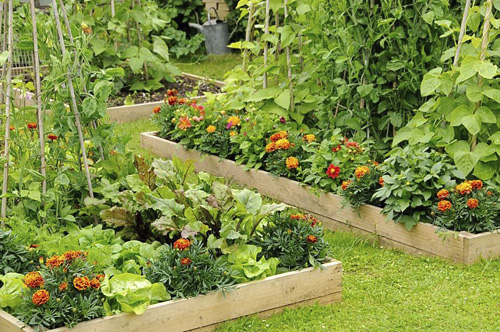 Flowers and vegetables in raised beds including, Marigolds, Lettuce, Sweet peas and Runner Beans - © GAP Photos/Gary Smith