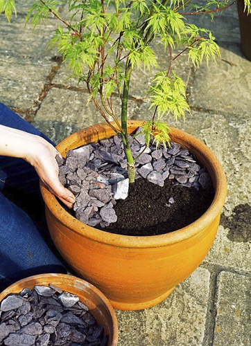 Step 7 of planting an Acer in a terracotta pot - Cover the surface with broken shale for extra drainage - © GAP Photos/BBC Magazines Ltd