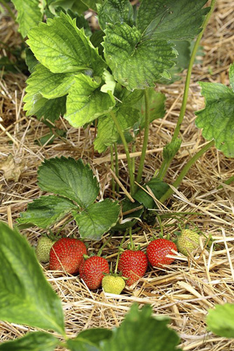Fragaria - Ripening strawberries mulched with straw in June - © GAP Photos/Maxine Adcock