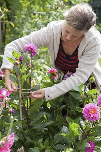 Woman tying Dahlias to canes for support - © GAP Photos/Friedrich Strauss