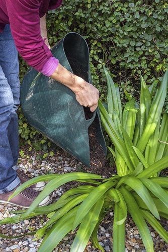 Mulching the base of a cut back Agapanthus with natural garden compost - © GAP Photos