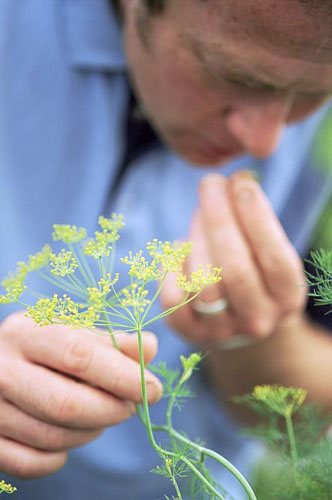 Man smelling fennel in garden - Summer - © GAP Photos/Rice/Buckland