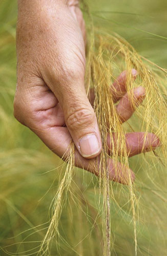 Hand touching Stipa tenuissima - © GAP Photos/Jonathan Buckley
