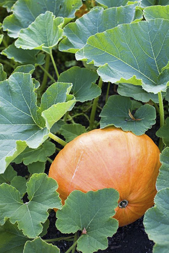 Pumpkin in vegetable garden - © GAP Photos/Pernilla Bergdahl