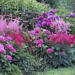 A mixed border of Hydrangea, Astilbe, Echinacea purpurea, Eupatorium and Heuchera