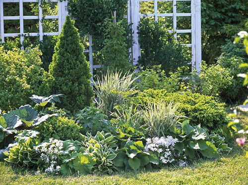 Green and white border planted with Picea glauca 'Conica', Picea abies 'Nidiformis', Phalaris, Inula, Buxus, Rheum, Hosta, Astilboides and Phlox