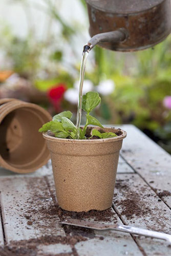 Watering transplanted Viola seedling in a biodegradable flower pot made from Bamboo and Rice material - © GAP Photos/FhF Greenmedia