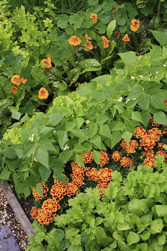 Flowers mixed in with vegetables to attract beneficial insects and aid pollination. Tagetes patula 'Durango Bee' - French Marigold with Mustard 'Oriental Pizzo', Radish, Dwarf bean 'Orinoco', Lettuce 'Lollo Biondo', Ruby chard 'Vulcan' and Tropaeolum minus 'Ladybird' - Nasturtium - © GAP Photos/Graham Strong