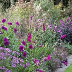 The purple border at De Boschhoeve. Dahlia 'Magenta Star', D.'Le Baron' and Cleome 'Senorita Rosalita' in the foreground