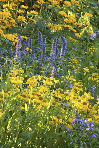 Mixed border with Agastache and Helenium