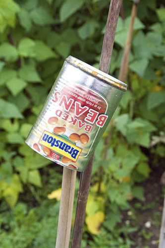 Empty tin of Branston Baked Beans used as an eye protector on the top of a cane - © GAP Photos/Pat Tuson