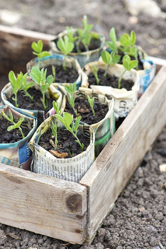 Sweet pea plants grown in newspaper pots - © GAP Photos/Gary Smith