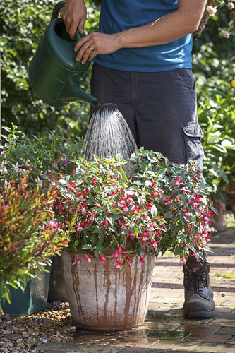 Feeding a container grown fuchsia with liquid feed using a watering can - © GAP Photos/Jonathan Buckley