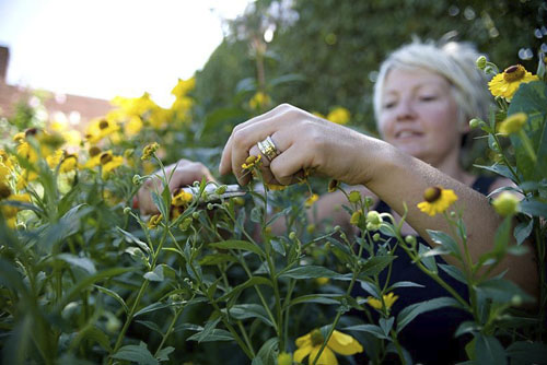 Woman deadheading Helenium in late Summer - © GAP Photos/Sharon Pearson