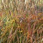 Miscanthus sinensis 'Malepartus' hedge at Special Plants Nursery in Autumn