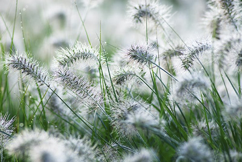Pennisetum alopecuroides 'Little Bunny' - Chinese Fountain Grass covered in dew
