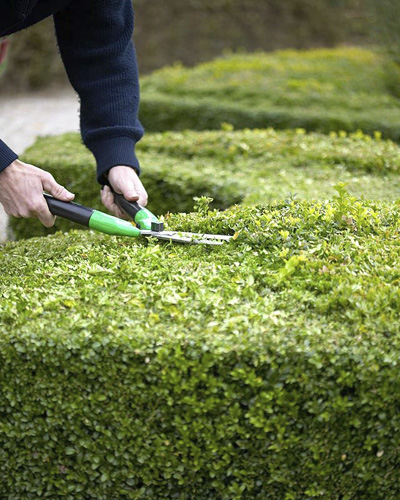 Pruning Buxus hedge - © GAP Photos/Visions