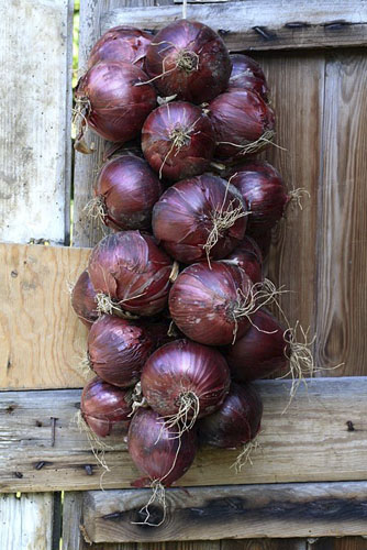 Allium cepa 'Red Baron' - Plait of organic onions drying on shed door - © GAP Photos/Maxine Adcock