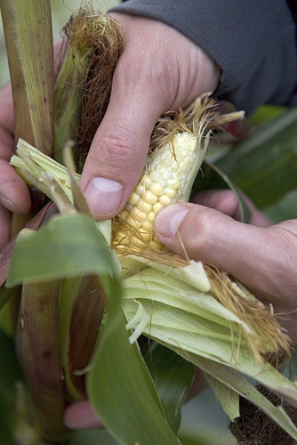 Testing sweetcorn for ripeness by piercing kernel with fingernail - © GAP Photos/Sarah Cuttle