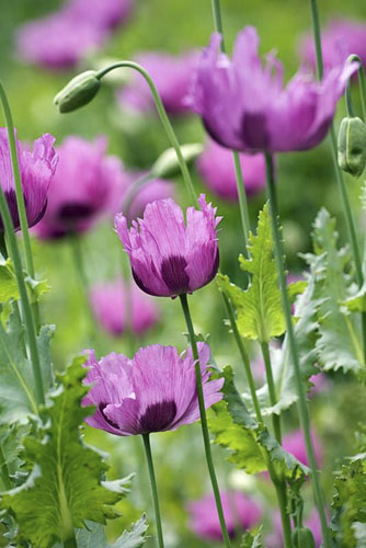 Papaver somniferum in June - Opium poppy - © GAP Photos/Dianna Jazwinski