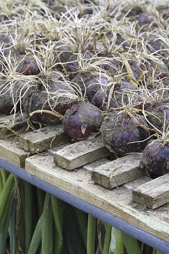 Allium cepa 'Red Baron' - Harvested onions drying in a wooden rack in polytunnel - © GAP Photos/Maxine Adcock