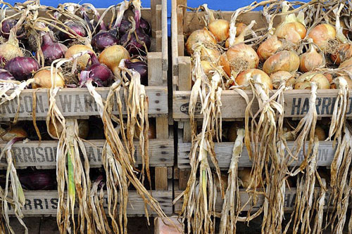 Home grown maincrop Onions ripening in wooden trays, UK, August - © GAP Photos/Gary Smith