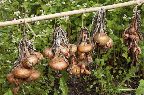 Drying onions in bunches on rail - © GAP Photos/Michael Howes