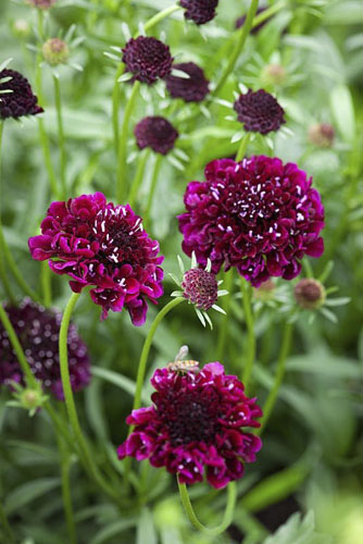Scabiosa atropurpurea 'Black Knight' - Scabious - © GAP Photos/Jonathan Buckley