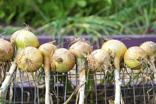 Maincrop onions lifted and drying on wire frames - © GAP Photos/Gary Smith