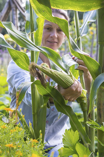 Woman harvesting Sweetcorn 'Minipop' F1 Hybrid - Zea mays var. rugosa - © GAP Photos