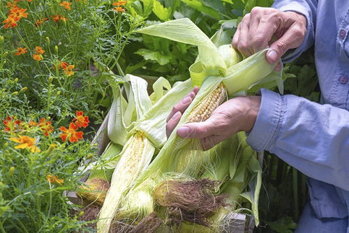 Peeling back husk of Sweetcorn 'Minipop' F1 Hybrid - Zea mays var. rugosa, revealing rows of kernels - © GAP Photos