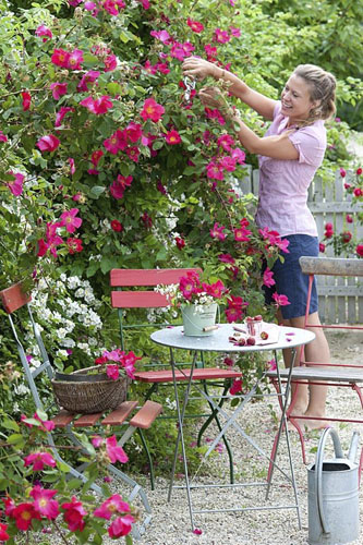 Woman deadheading roses. Seating area alongside bed of Rosa 'Scharlachglut' and R. multiflora - © GAP Photos/Friedrich Strauss