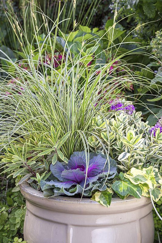 An Autumnal container with a Variegated colour scheme. Featuring Carex brunnea 'Gold Strips', Euphorbia x martinii 'Ascot Rainbow', Hedera helix 'Golden Kolibri', Ornamental cabbage - Brassica oleracea and Hebe addenda Variegated