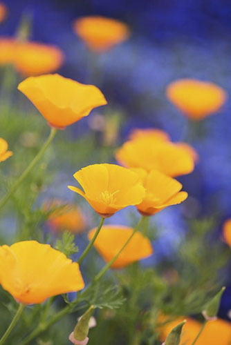 Eschscholzia californica - Californian Poppies - June - Surrey - © GAP Photos/Tim Gainey