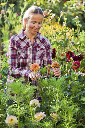 Woman deadheading dahlias - © GAP Photos/Robert Mabic