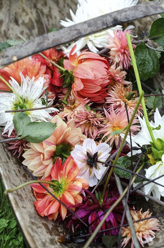 Deadheaded dahlias in a wooden trug - © GAP Photos/Jason Ingram