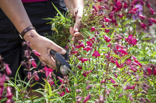 Deadheading a perennial - Penstemon - © GAP Photos/Jonathan Buckley